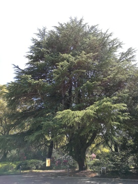 One of the many revered Himalayan Cedars (cedrus deodara) on the grounds.
