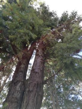 A China Fir (cunninghamia lanceolata