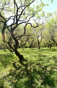 A plum tree grove, unfortunately not in bloom