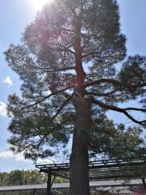 A magnificent Japanese Pine (pinus densiflora)