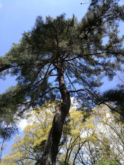 A Japanese pine tree (pinus densiflora Sieb et Zucc)