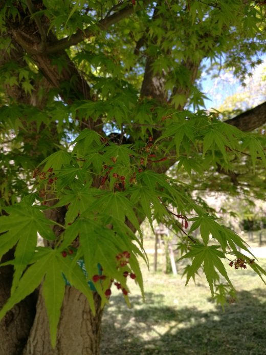 The beautiful foliage of the Japanese Maple tree (acer palmatum), with its tiny red flowers