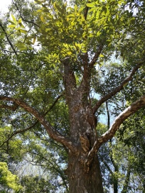 This tree is found inside a dedicated area that has preserved the original primeval forest that used to be in the region. The tree, (litsea lancifolia F. Vill), has no common name, simply that its latin name translates to 'lance-shaped leaves' tree
