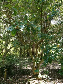 Another member of Kyoto's primeval past, this michelia figo is also know as the magnolia figo/port wine magnolia.