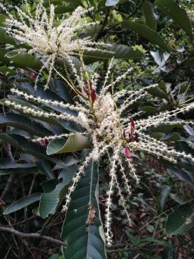 Chestnut Oak flowers