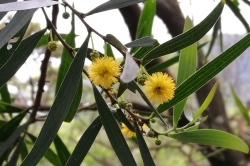 Taiwan Acacia flowers