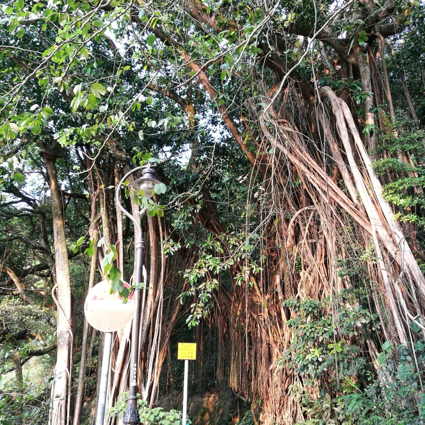 This Indian Rubber tree is actually designated one of the Old and valuable trees of Hong Kong. It grows across Lugard Road, forming a tunnel.