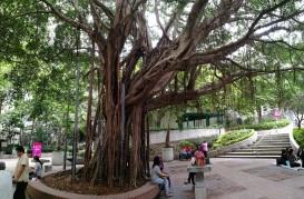 Chinese Banyan providing shade