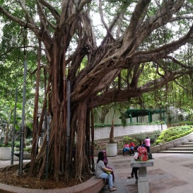 Chinese Banyan providing shade