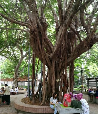 Chinese Banyan: Wanchai Park