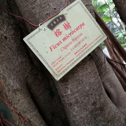 An Old and Valuable tree of Hong Kong
