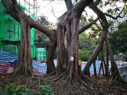 This Indian Rubber tree inside Hong Kong Park with striking aerial roots is under peril.