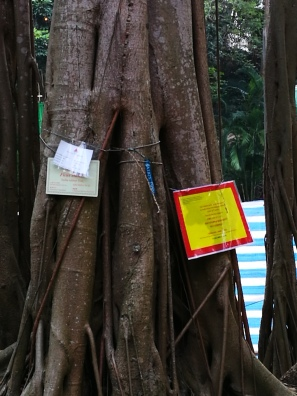 Another 'Old and valuable' member of Hong Kong's trees in peril from root rot.