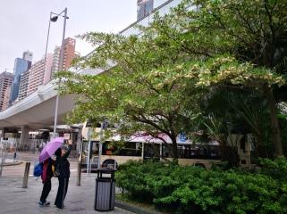 Hainan Elaeocarpus (elaeocarpus hainanensis 水石榕)
