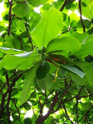 Indian Almond fruit