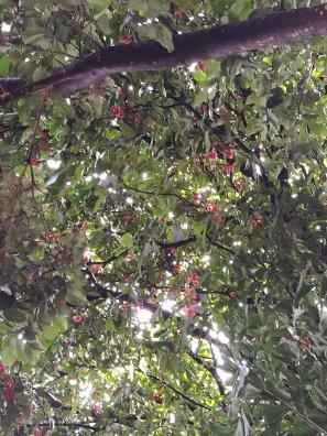 Java Apple tree