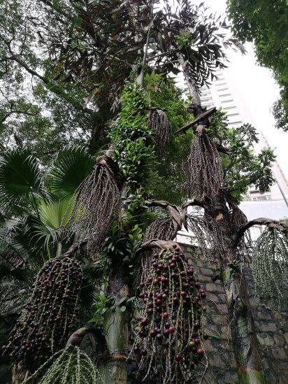 Small Fishtail Palm fruits
