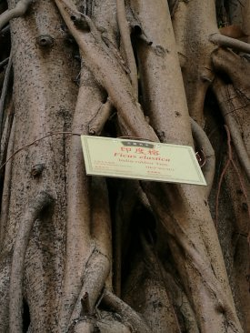 Old and valuable tree of Hong Kong: HKP WCH/1