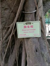 Old and valuable tree of Hong Kong LCSD CW/8