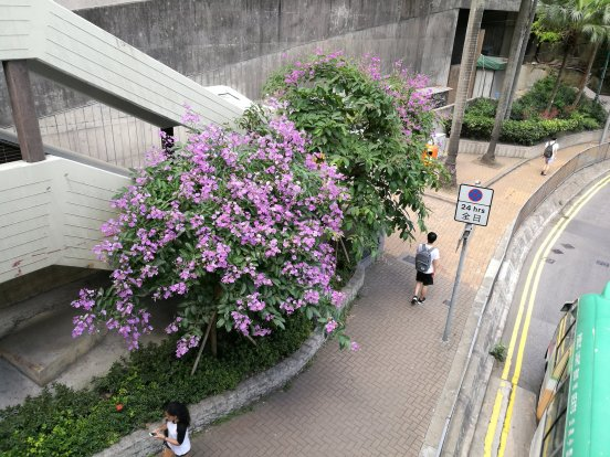 Early bloomer outside HKU