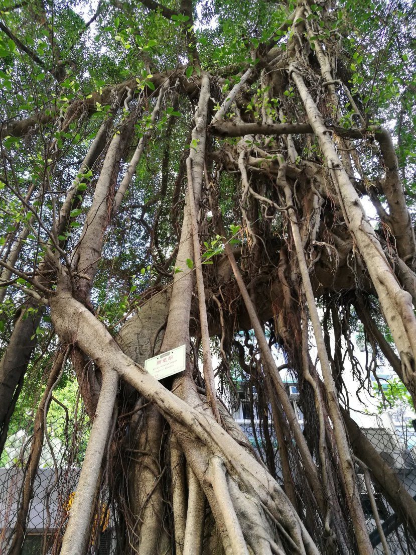 Aerial roots reaching down