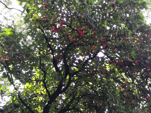 Java Apple tree