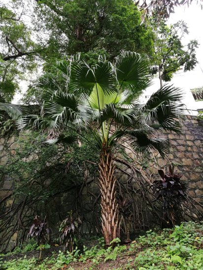Young Chinese Fan Palm (livistona consensus)