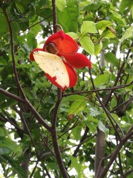 Lance-leaved Sterculia