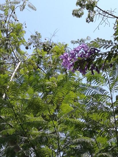 Blooming Jacarandas