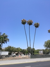 Fan Palms in Beverly Hills