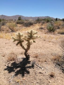 Colla Cactus