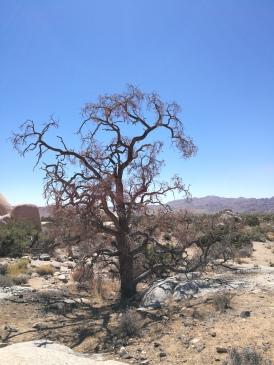 rare tree