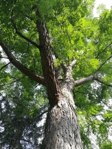coffee tree?