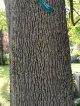 Relatively smoothly ridged trunk